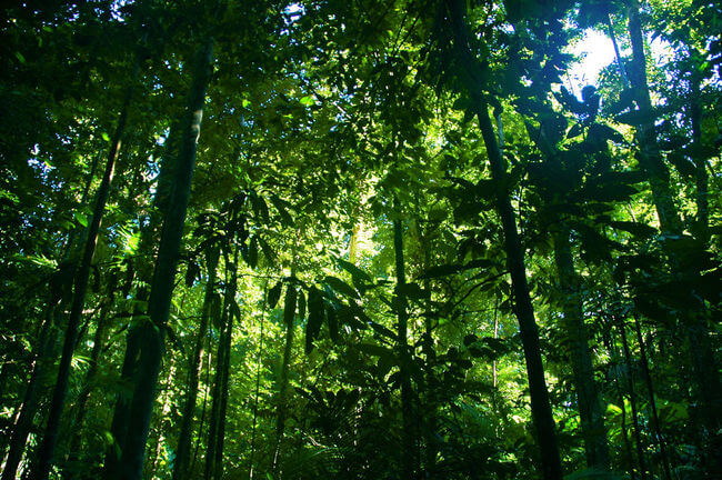Daintree rainforest looking up to tress green