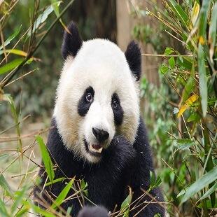 Giant Panda Eating Bamboo, Chengdu, China