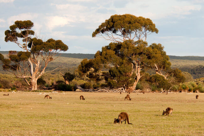 Kangaroos grazing on Kangaroo Island