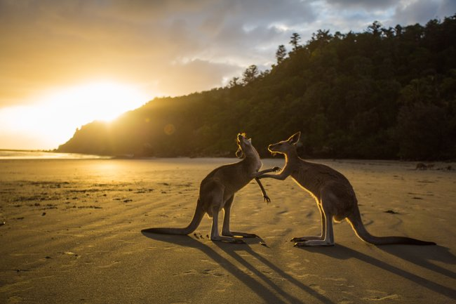 Kangaroos on beach at sunrise Australia