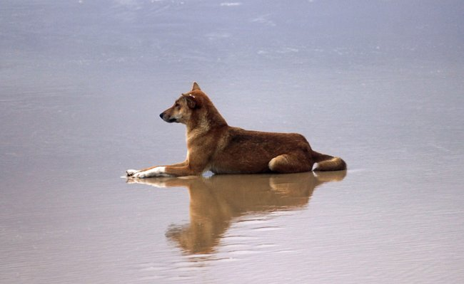 dingo laying on beach fraser island Australia