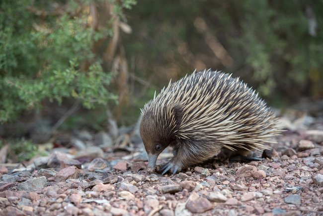 echidna close up on ground Australia