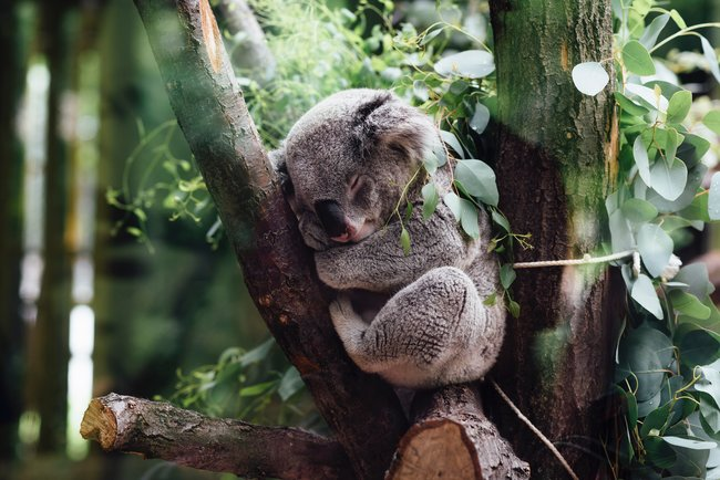 koala sleeping in a tree in forest