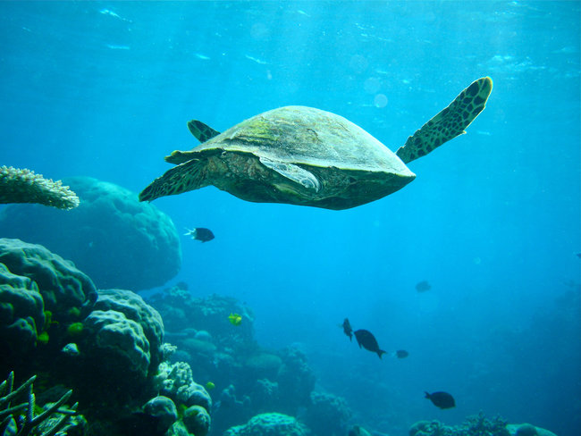sea turtle swimming underwater great barrier reef