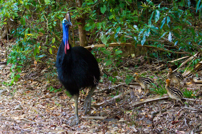 cassowary bird in tress daintree rainforest australia