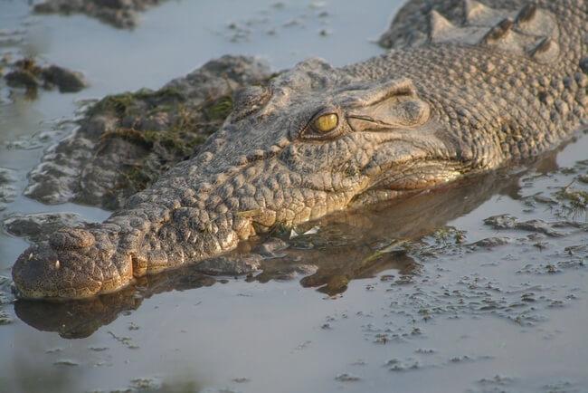 close up saltwater crocodile kakadu national park australia