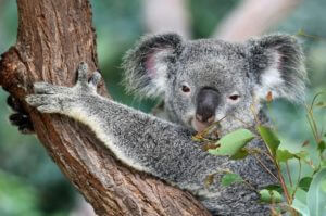 koala close up holding tree branch Kuranda Australia
