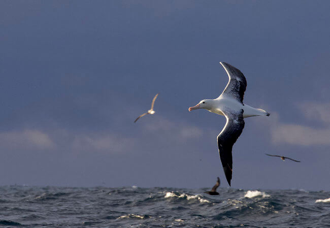 northern royal albatross flying over sea New Zealand
