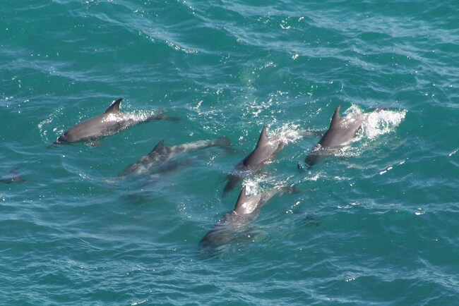 pod of dolphins swimming in ocean australia