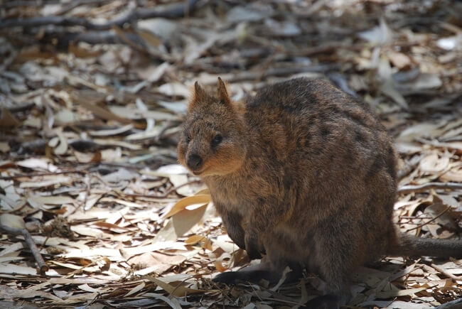 quokka sitting on leaves Australia