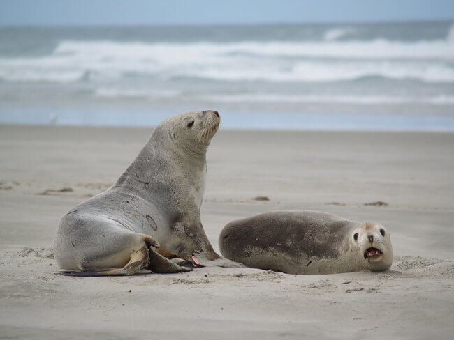 two seals on victoria beach otago peninsula new zealand
