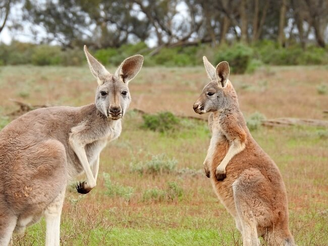 two standing kangaroos in field Australia