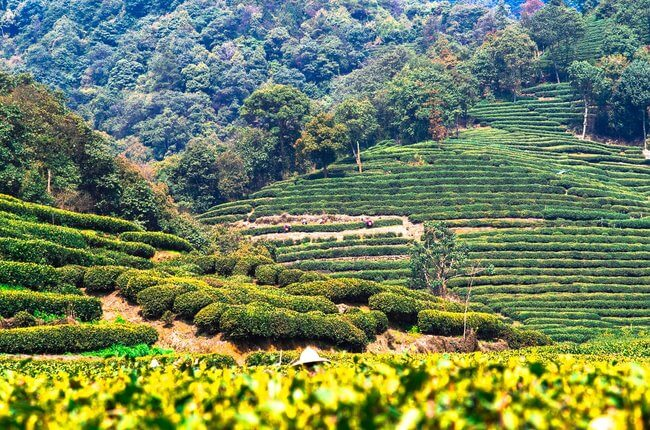 green fields tea farm china