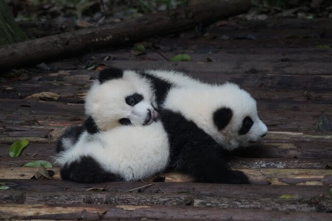 two panda cubs laying down Chengdu China