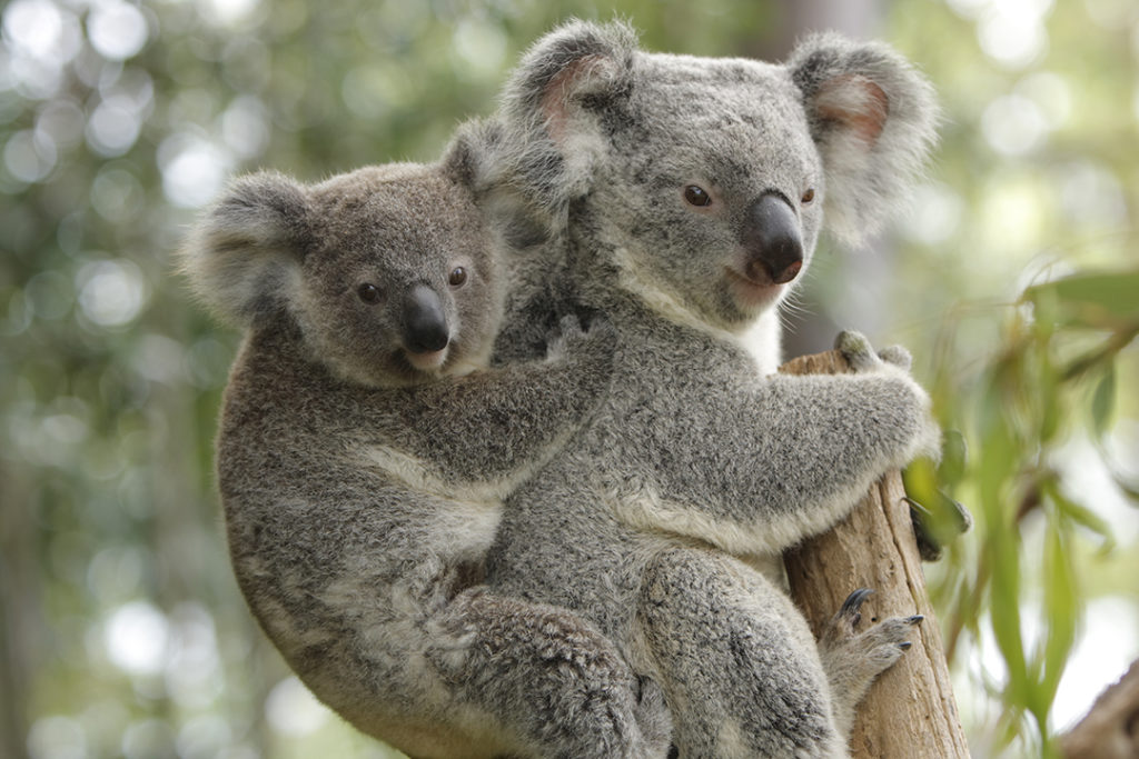 brisbane-zoo-koala-bears