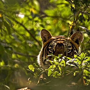 tiger-ranthambore