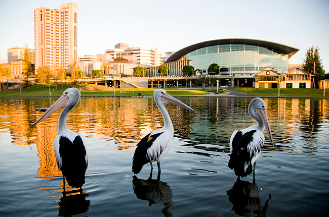 Pelicans stood in the Torrens River in Adelaide.