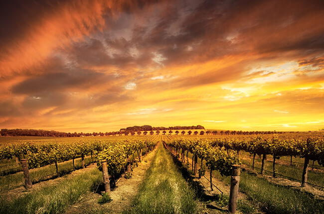 shot of a Barossa Valley vineyard at sunset, with uniform vines stretching from foreground into background