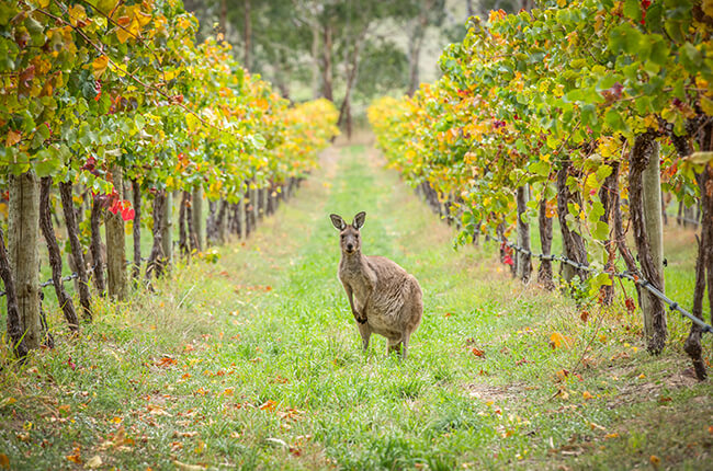 Kangaroo pictured in between vineyards at Barossa Valley