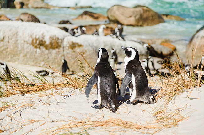 two penguins sat together at Boulders Beach in Cape Town, with more penguins in the background next to large boulders and clear sea