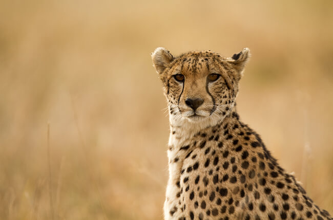 Cheetah staring at camera, with arid background blending with the colours of the cheetah