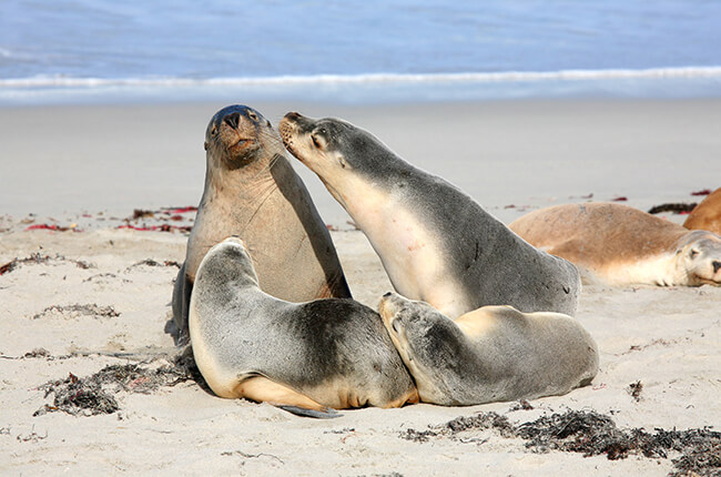 family of seals resting on the beach of Kangaroo Island