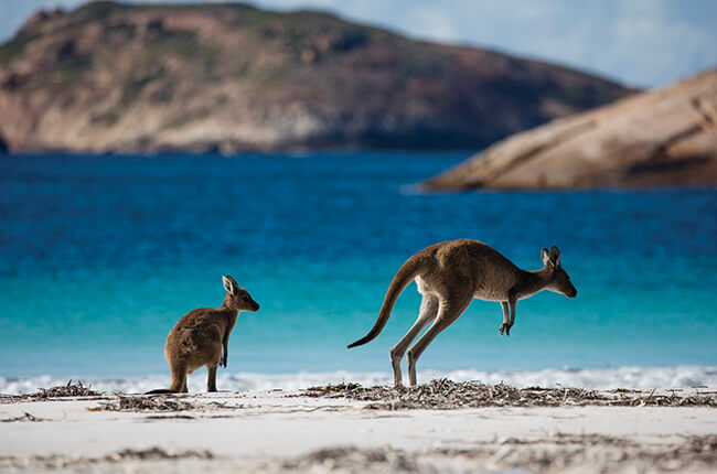 Kangaroo and Joey hopping on the coast of Kangaroo Island, with colourful blue waters and small islands off the coast in background