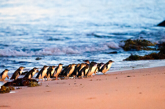A waddle of penguins emerging from the water of Phillip Island, and travelling along the beach.