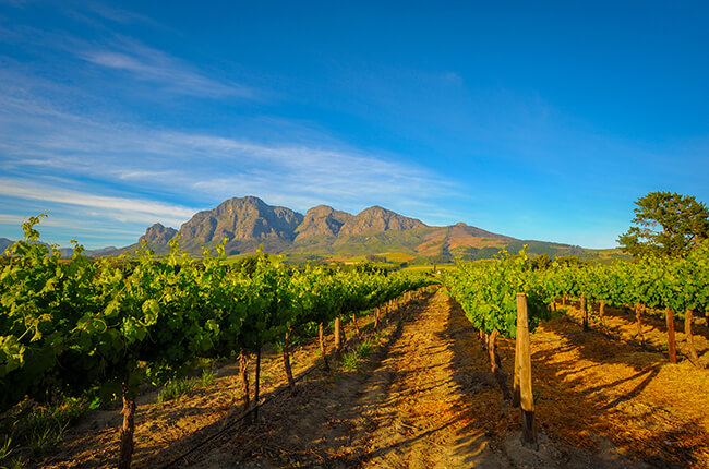 outstretching vineyard with towering rocky mountains in background. Clear blue skies