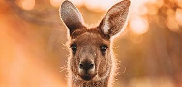 kangaroo-outback-sunset-close