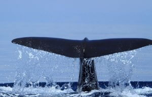 Close view of Whale tail as it submerges in Galle Sri Lanka