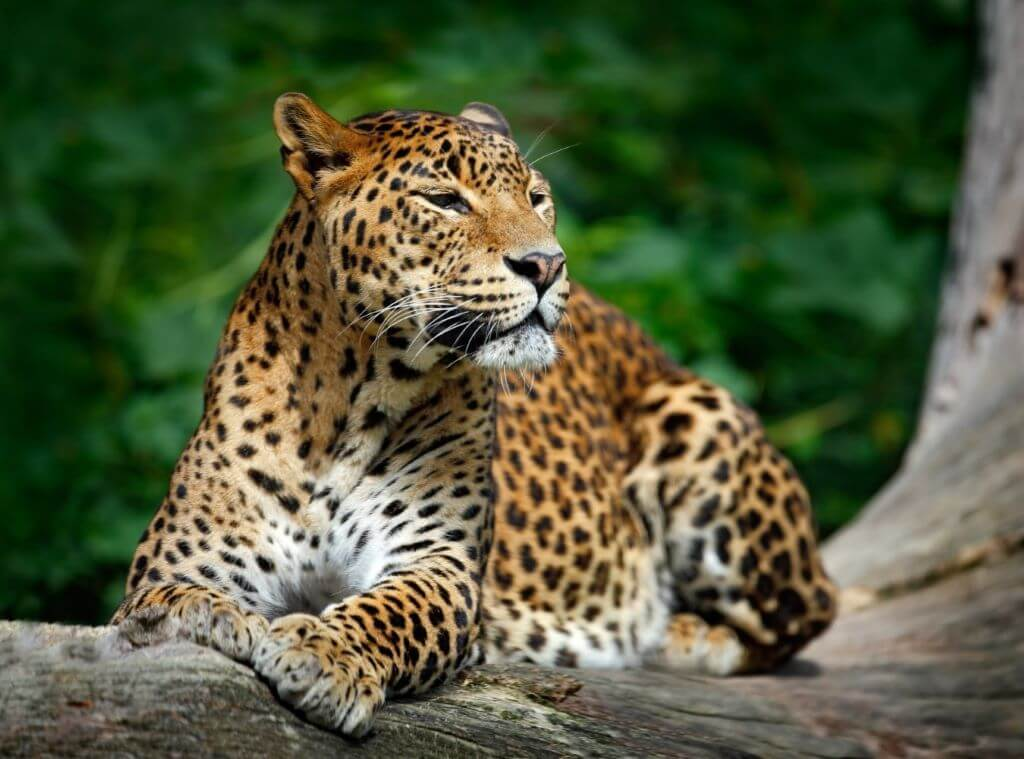 leopard laying on tree in forest in Sri Lanka