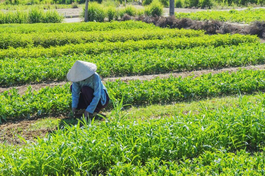 Woman working in Tra Que Villlage vegetable field